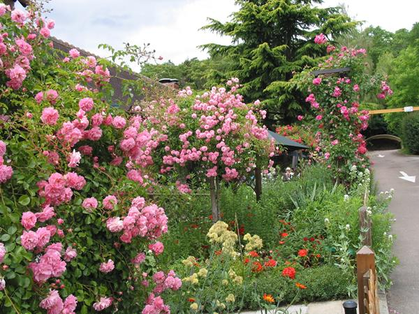 Simple choosing lots of the same colour such as this pink Rose can serve to unify a garden design scheme.