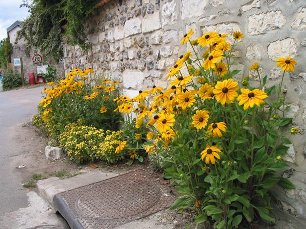A photograph of a manhole cover with a stone wall and some bright yellow flower planting