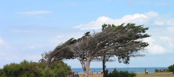 A photograph showing flat-topped trees shaped by onshore wind.